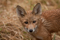 Up close fox kit