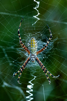 Dew Covered Garden Spider