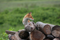 Fox on the wood pile